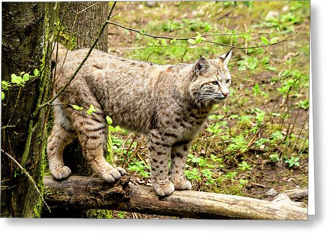 Wild Bobcat Greeting Card by Teri Virbickis