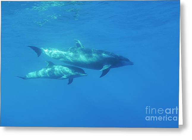 Wild Bottle-nosed Dolphin Mother And Calf Greeting Card by Sami Sarkis