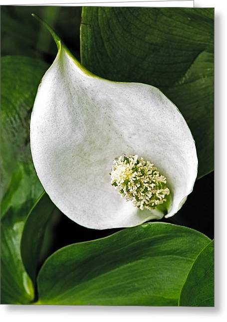 Wild Calla Greeting Card by Stephen Gingold