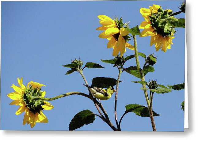 Wild Canary Sunflowers Greeting Card by Shannon Grissom