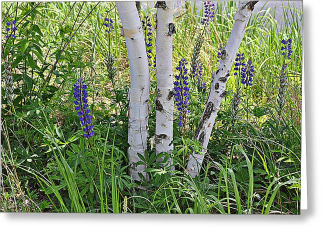 Wild Center Birches Greeting Card