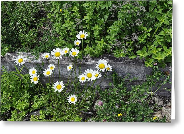 Wild Center Daises Greeting Card