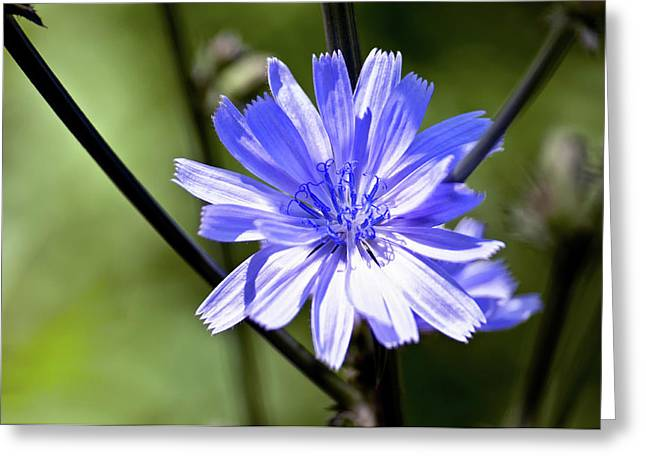 Wild Chicory Greeting Card by Ross Powell