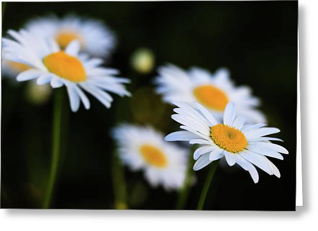 Greeting Card featuring the photograph Wild Daisies by Cristina Stefan