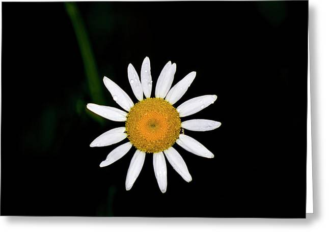 Greeting Card featuring the digital art Wild Daisy by Chris Flees