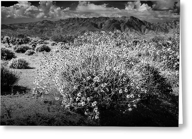 Greeting Card featuring the photograph Wild Desert Flowers Blooming In Black And White In The Anza-borrego Desert State Park by Randall Nyhof