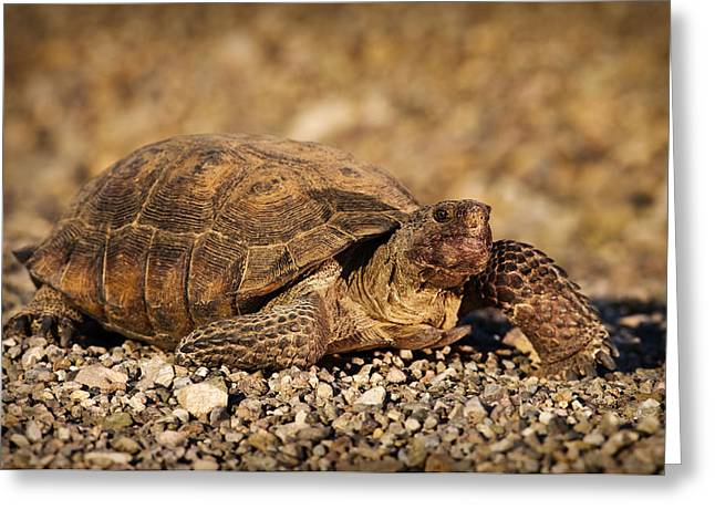 Wild Desert Tortoise Saguaro National Park Greeting Card by Steve Gadomski