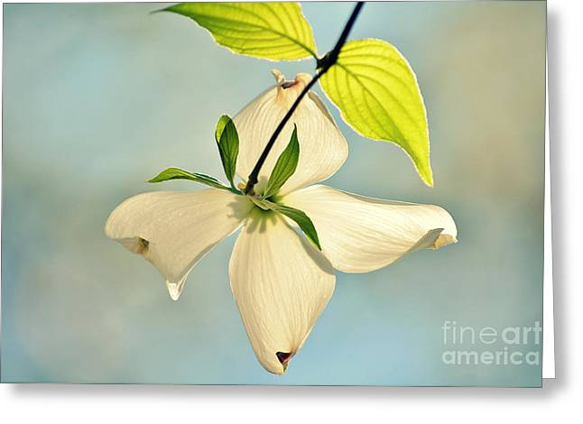 Wild Dogwood Bloom 2 Greeting Card