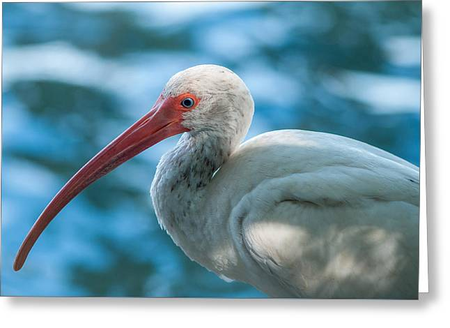 Wild Eyed Ibis Greeting Card