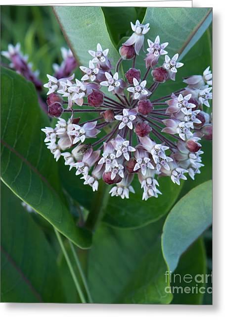 Wild Flower Star Burst Greeting Card