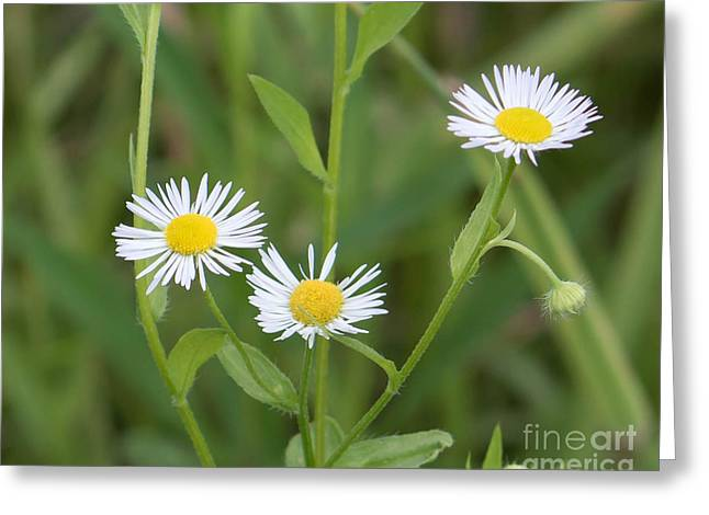 Wild Flower Sunny Side Up Greeting Card