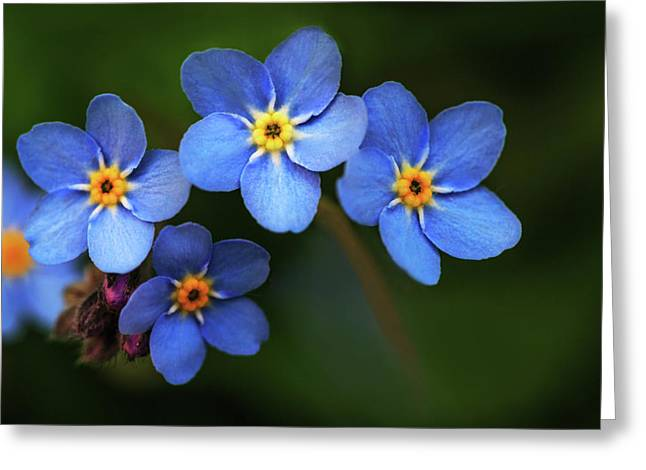 Wild Flower Forget-me-not Since The Middle Ages Symbolizes The Celestial Eye And Reminds You Of God Greeting Card