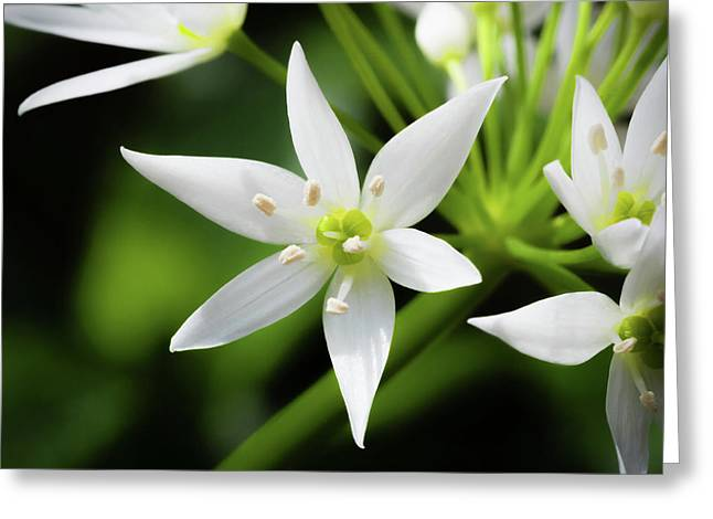 Greeting Card featuring the photograph Wild Garlic Flower by Nick Bywater