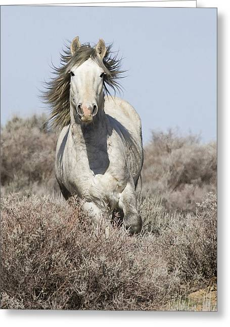 Wild Horses Greeting Cards - Wild Grey Stallion Runs Close Greeting Card by Carol Walker