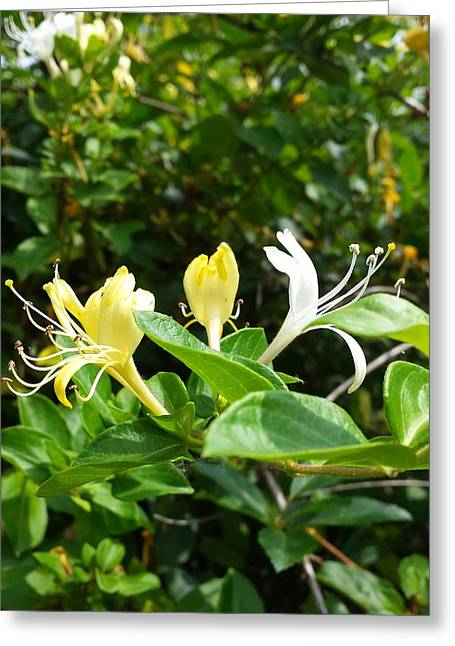 Wild Honeysuckles Greeting Card