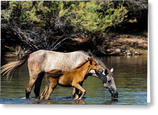 Wild Horses On The Salt River Greeting Card