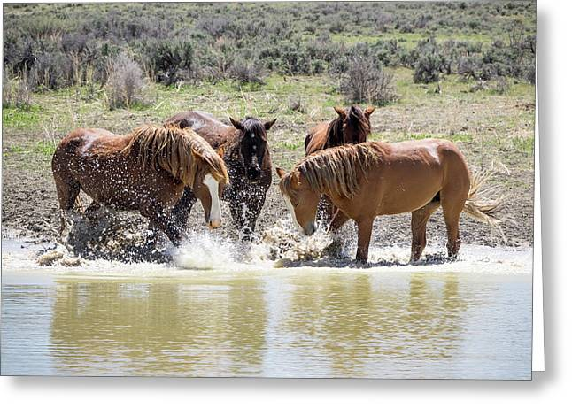 Wild Mustang Stallions Playing In The Water - Sand Wash Basin Greeting Card