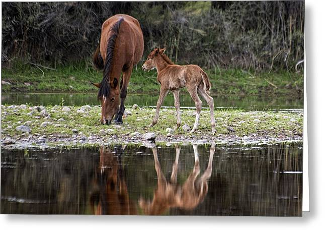Wild Horses Reflected In The Salt River Greeting Card