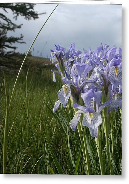Wild Iris II Greeting Card by Susan Pedrini