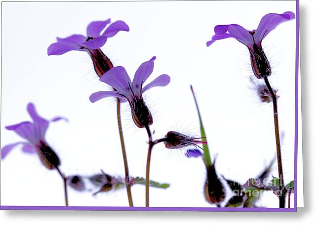 Wild Knotted Cranesbill Greeting Card