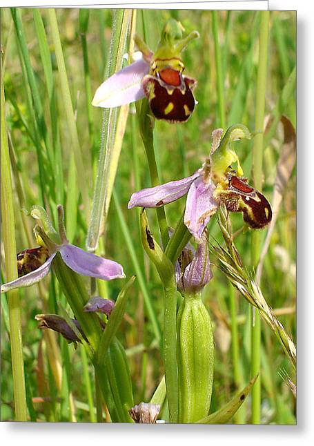 Wild Meadow Bee Orchids Greeting Card