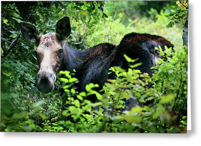 Wild Moose Greeting Card by Dan Pearce