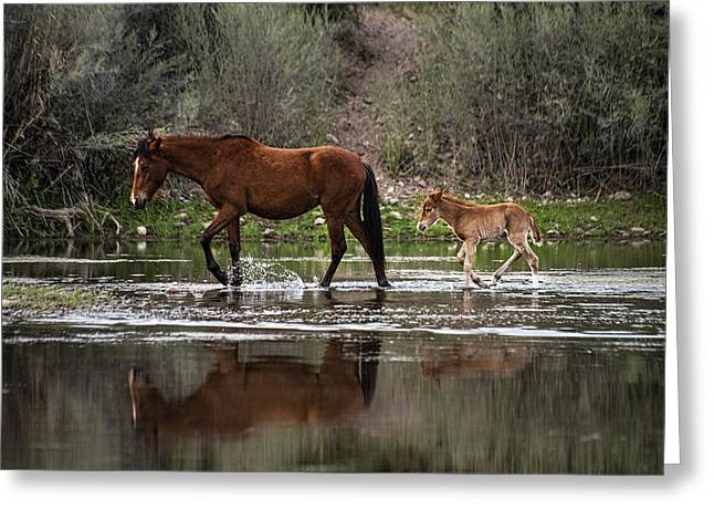 Wild Mother And Foal Horses Walk In The Salt River  Greeting Card