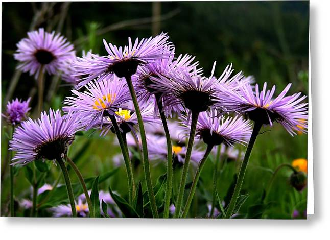 Wild Mountain Asters Greeting Card