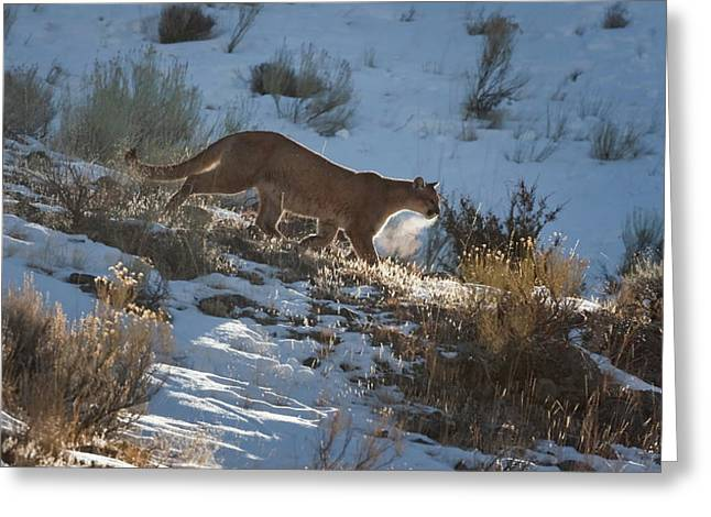Wild Mountain Lion Running At First Light Greeting Card