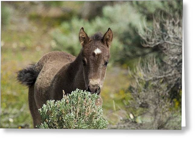 Wild Mustang Foal Greeting Card
