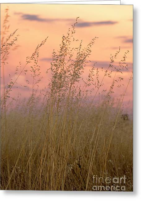 Wild Oats Greeting Card by Linda Lees