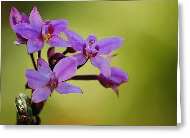 Wild Orchids 2 Greeting Card by Michael Peychich