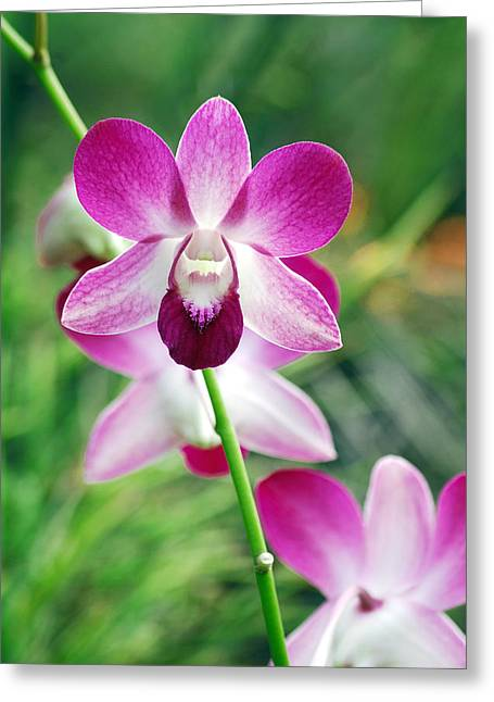 Wild Orchids Greeting Card by Michael Peychich
