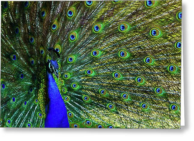 Wild Peacock Greeting Card