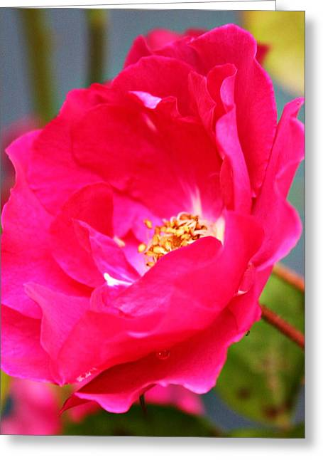Wild Pink Rose Greeting Card by Cathie Tyler