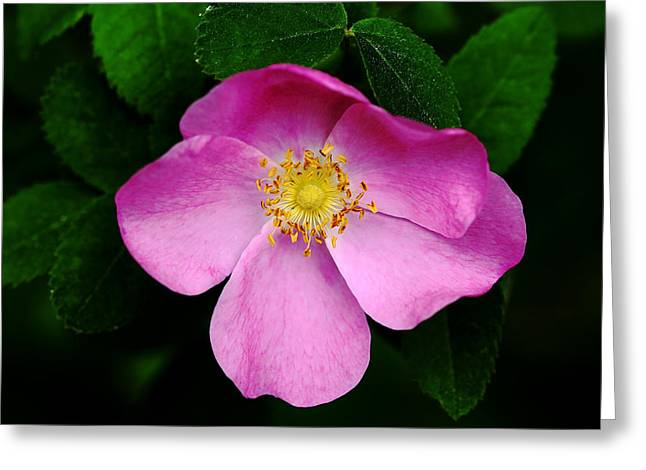 Wild Pink Rose Greeting Card by Debbie Oppermann