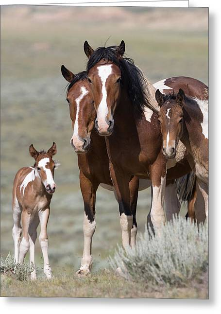 Wild Horses Greeting Cards - Wild Pinto Family Greeting Card by Carol Walker