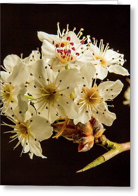 Wild Plum Blooms At Sunset 5529.02 Greeting Card