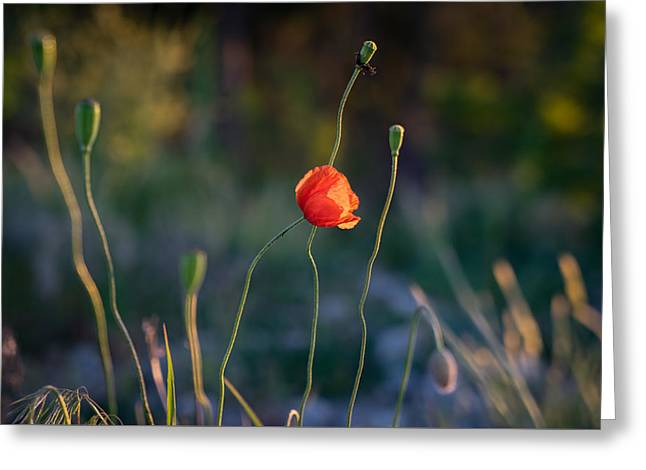 Wild Poppies By Ian Riddler Greeting Card by Ian Riddler