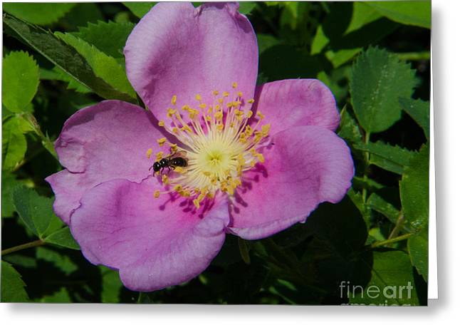 Wild Rose Bloom Greeting Card by Rex Wholster