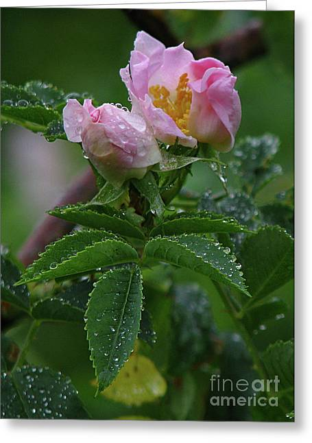 Greeting Card featuring the photograph Wild Rose Buds by Deborah Johnson