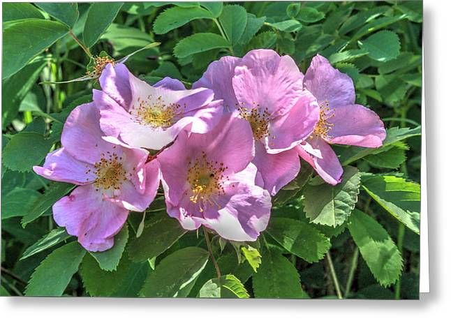 Wild Rose Cluster Greeting Card by Jim Sauchyn