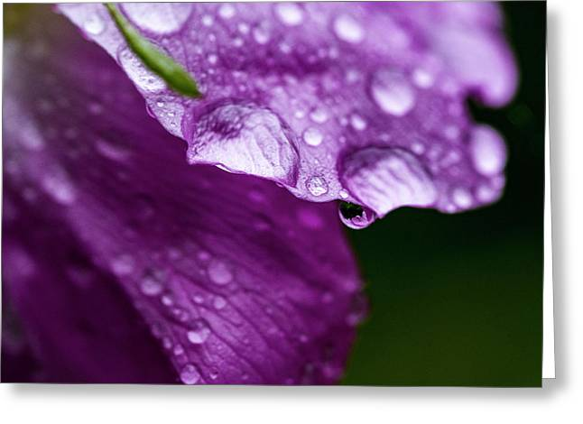 Greeting Card featuring the photograph Wild Rose Droplet by Darcy Michaelchuk