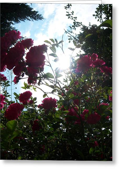 Wild Rose Shine Greeting Card by Ken Day