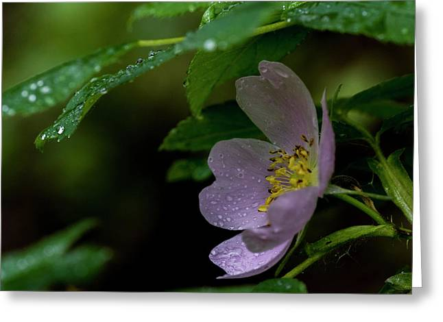 Greeting Card featuring the photograph Wild Rose With Shelter by Darcy Michaelchuk