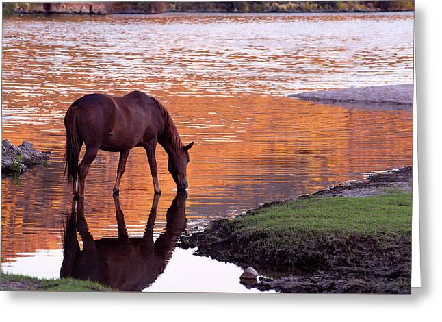 Wild Salt River Horse At Saguaro Lake Greeting Card