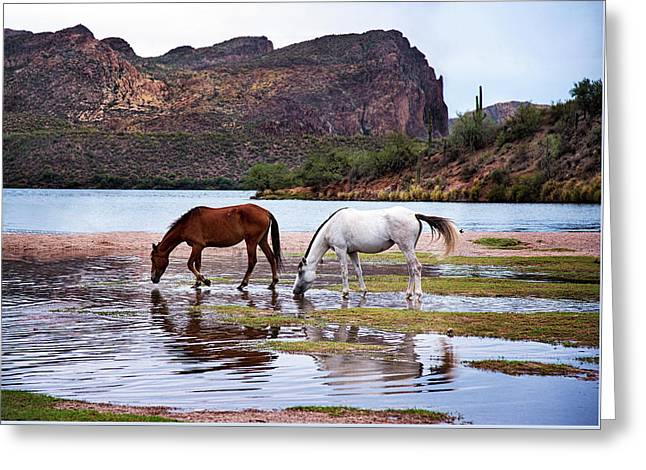 Wild Salt River Horses At Saguaro Lake Arizona Greeting Card