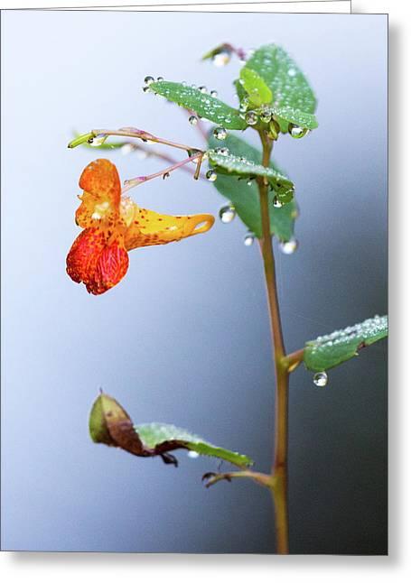 Wild Snapdragon Flower Greeting Card