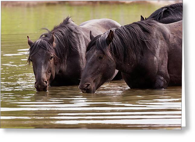 Wild Stallions At The Water Hole Greeting Card