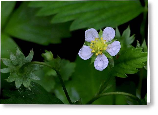 Wild Strawberry Blossom And Raindriops Greeting Card
